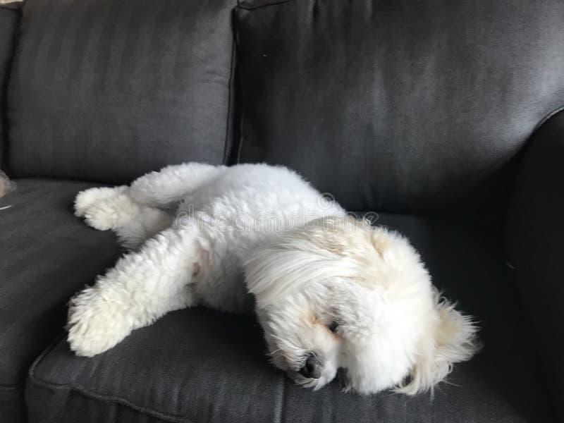 LhasaPoo taking a nap royalty free stock image