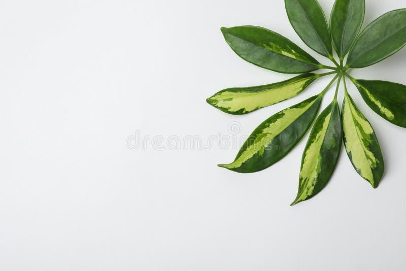 Liść tropikalna schefflera roślina na białym tle obrazy royalty free