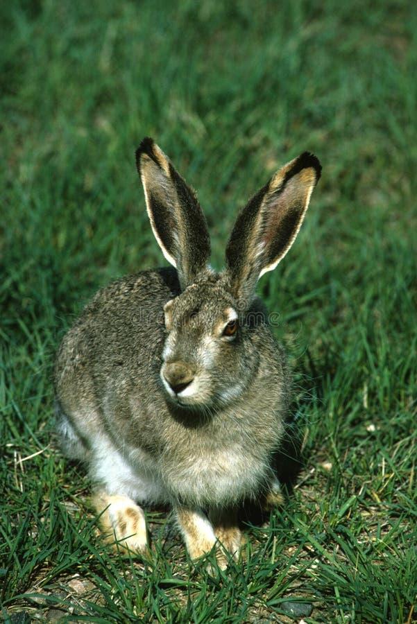 lièvre Blanc-suivi dans l'herbe photographie stock