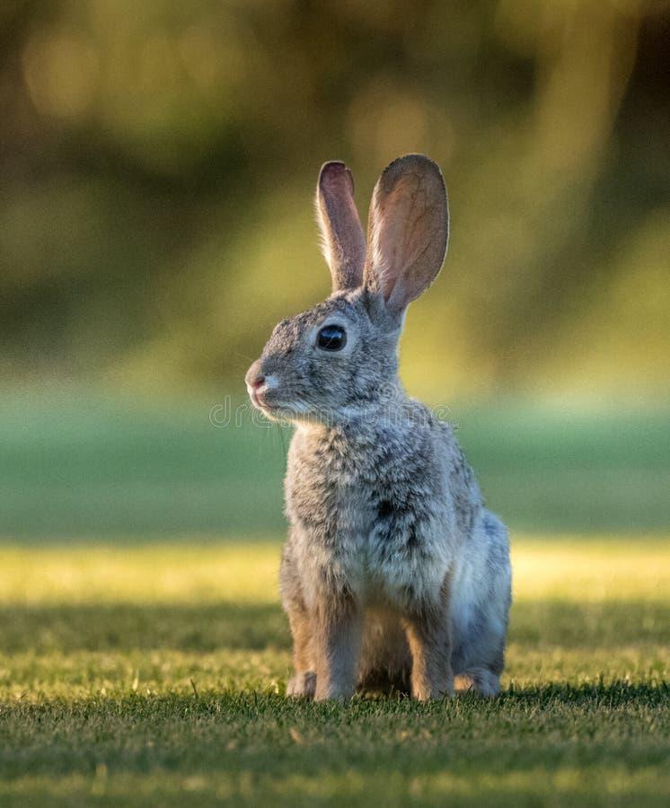 Lièvre de désert semblant vigilant sur l'herbe images libres de droits