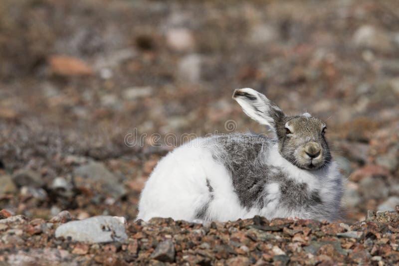 Lièvres arctiques avec les oreilles pointues photographie stock libre de droits