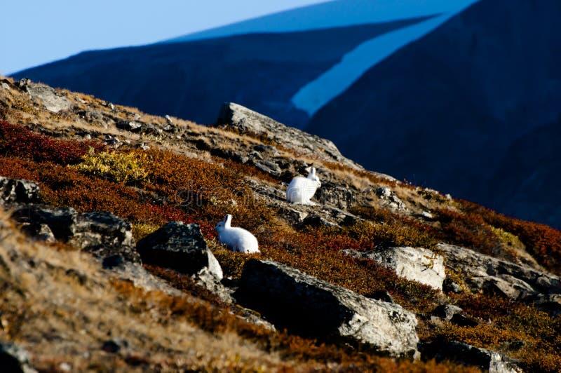 Lièvres arctiques - Groenland photographie stock libre de droits