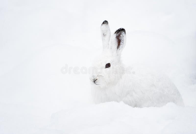 Lièvres de montagne (lat. Timidus de Lepus) image libre de droits