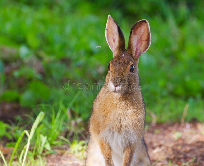 Lièvres de raquette (Lepus américanus) image libre de droits