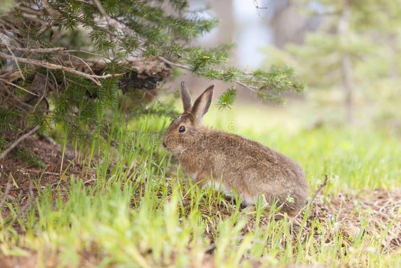 Lièvres de raquette mignons alimentant sur l'herbe photo stock