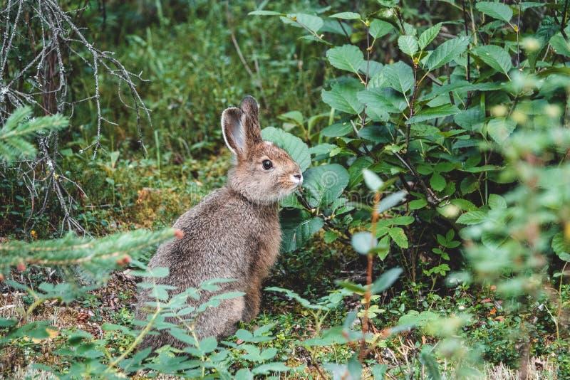 Lièvres de raquette sur l'herbe en été photos libres de droits