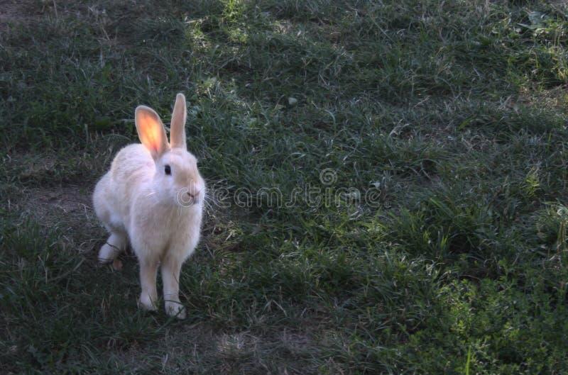 Lièvres sur l'herbe verte photo stock