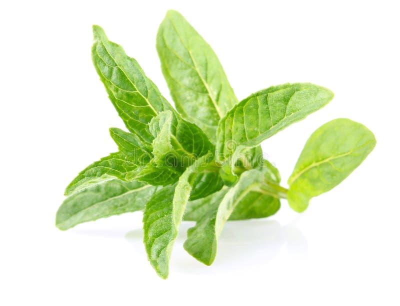 liść świeża zielona miętówka zdjęcia stock