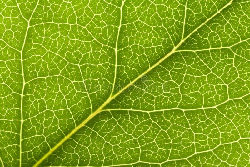 liść żyła zdjęcie stock