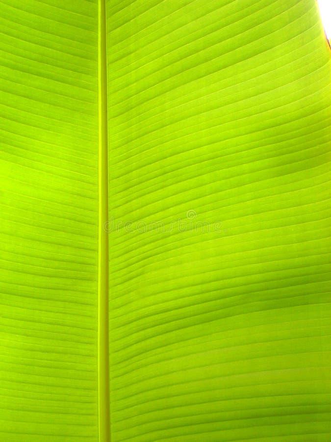 liść banana zbliżenie stricted składu drzewo obraz stock