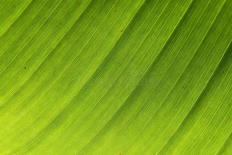 liść bananowa tekstura obraz royalty free
