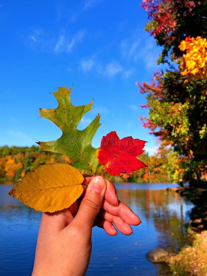 Liść czerwonego drzewa klonowego, żółty liść wiązu i zielony liść dębu zdjęcia royalty free