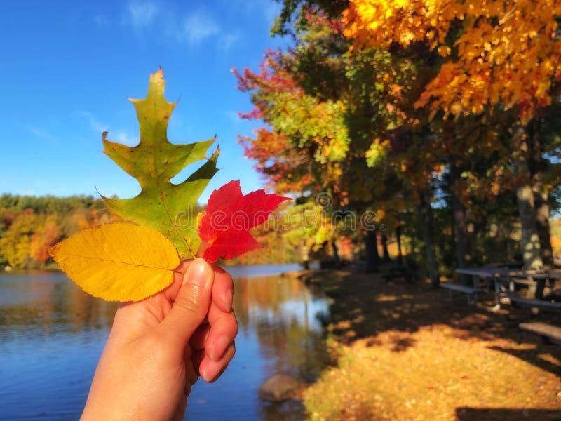 Liść czerwonego drzewa klonowego, żółty liść wiązu i zielony liść dębu obrazy stock