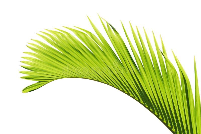 liść drzewko palmowe obraz stock