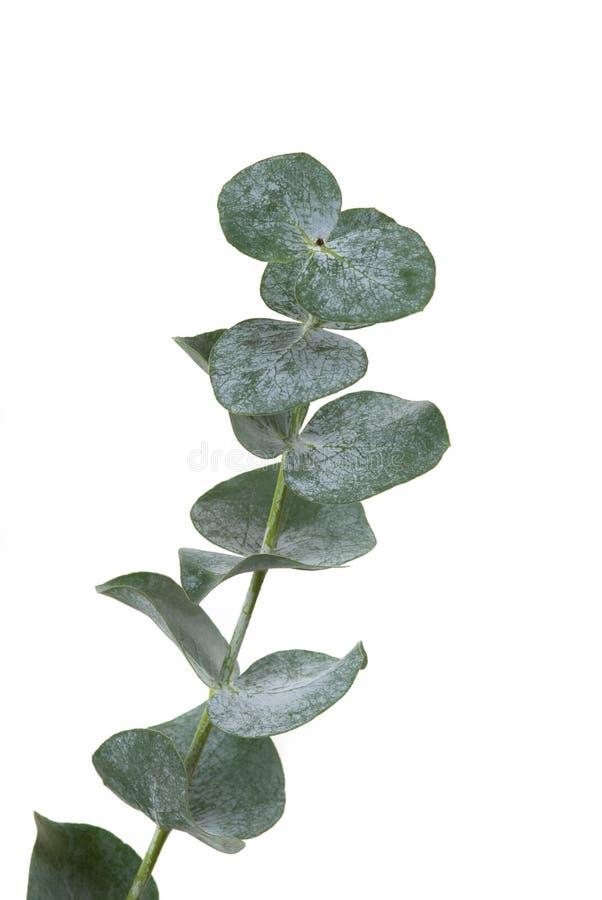 liść eukaliptusowy zdjęcie royalty free