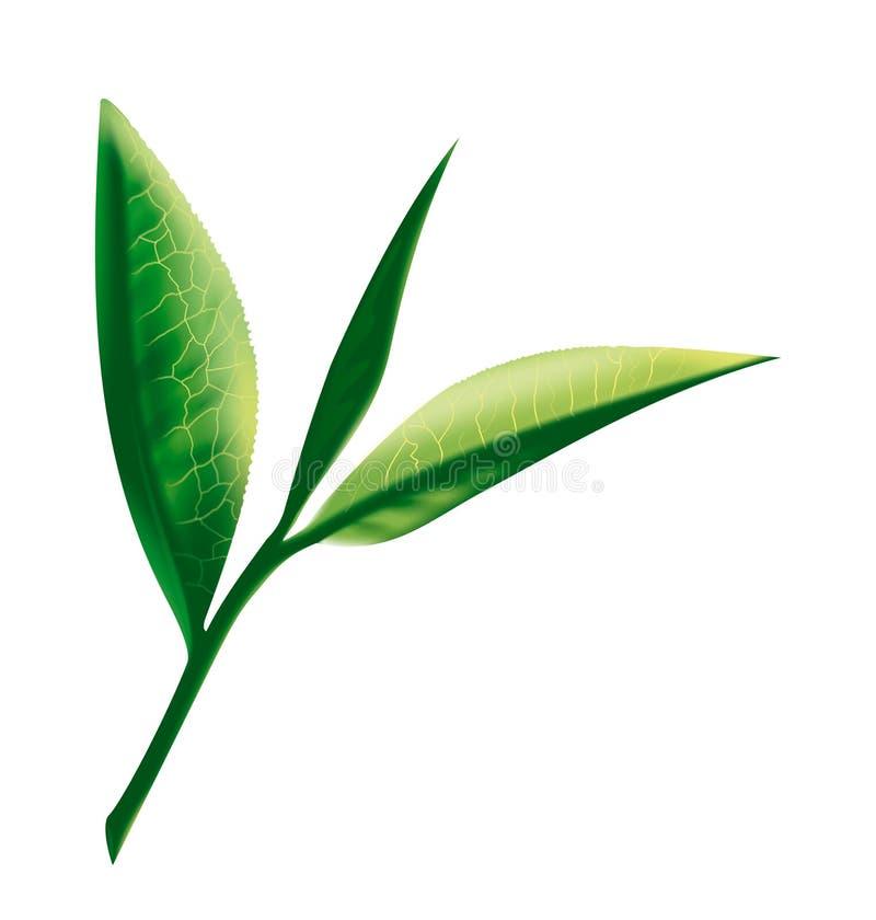 liść herbata ilustracja wektor