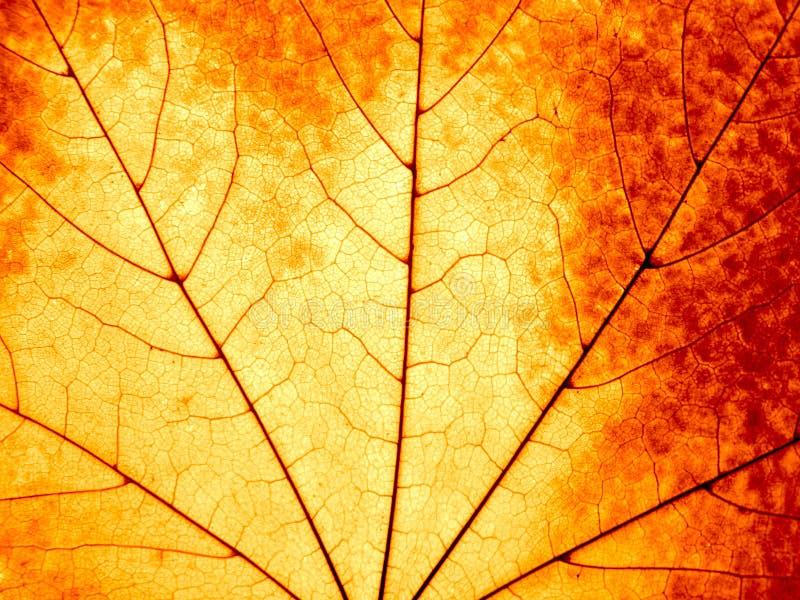 liść jesienny kolorowy klon zdjęcia stock