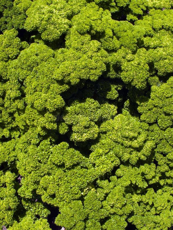 liść kędzierzawa pietruszka zdjęcia stock