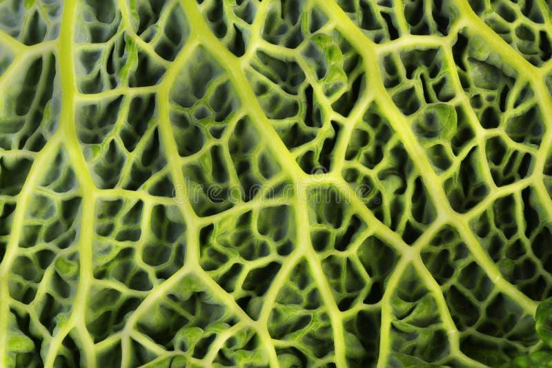 liść kapuściany świeży savoy obraz stock