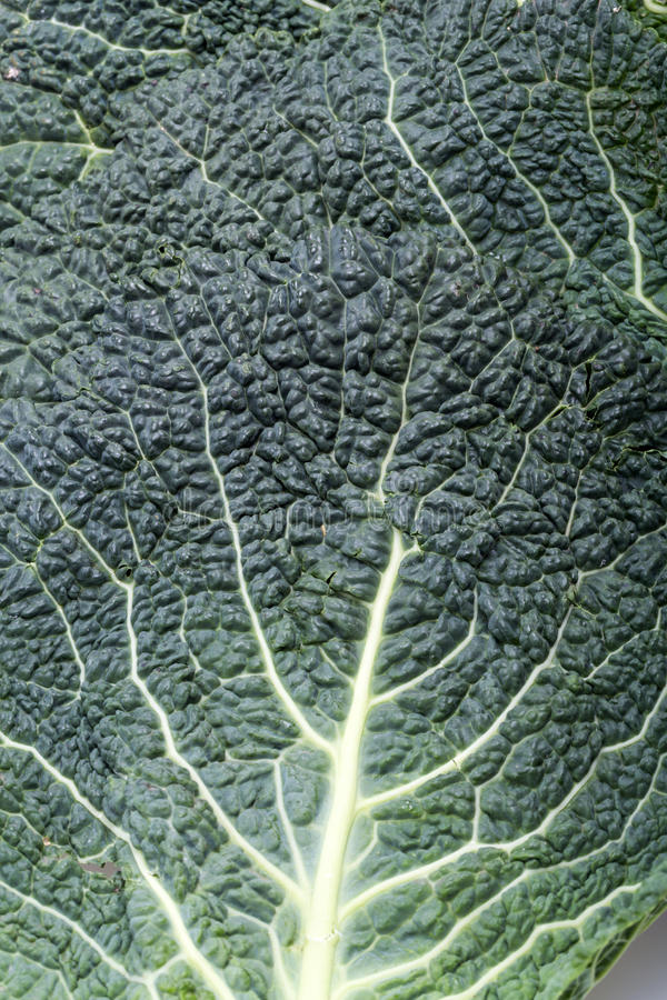liść kapuściany świeży savoy zdjęcia stock