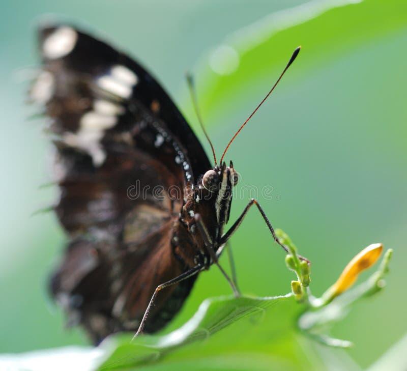 liść karmienia motyla obraz royalty free