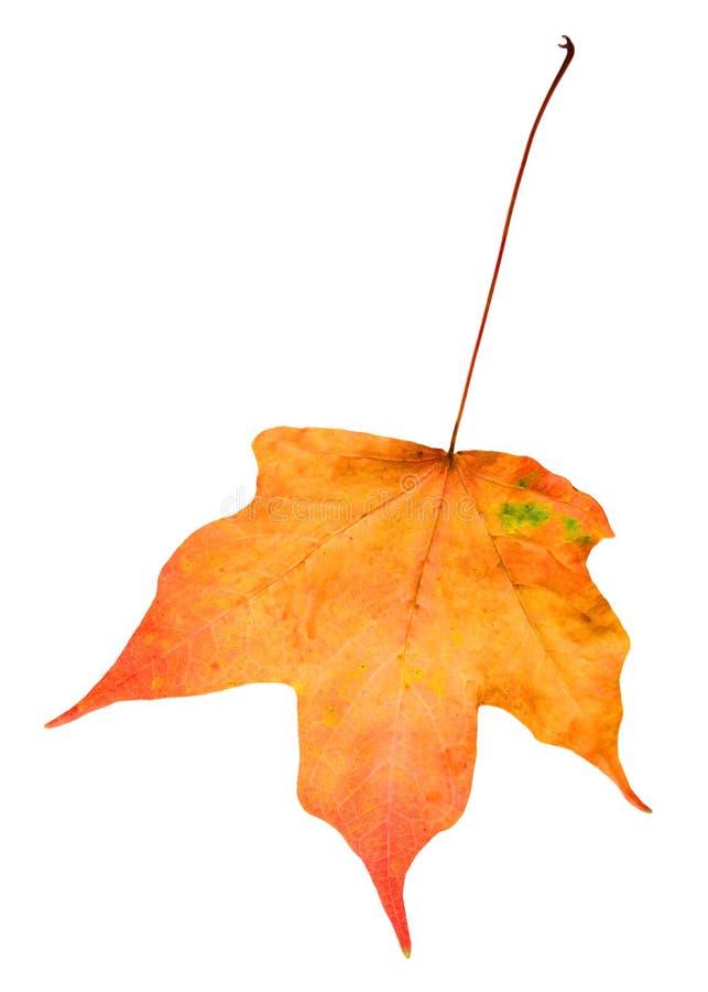 liść klon zdjęcie stock