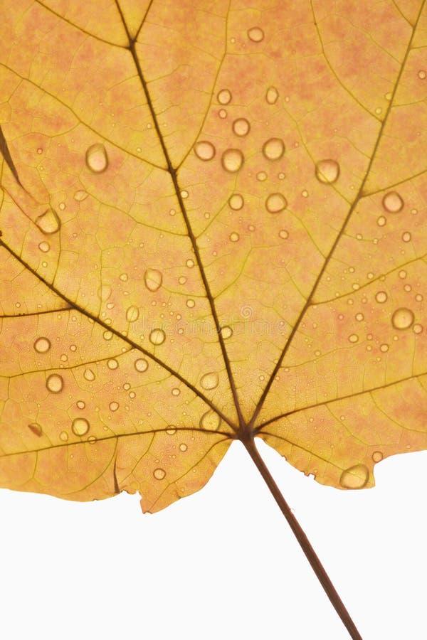 liść klon kropiąca wody zdjęcie stock