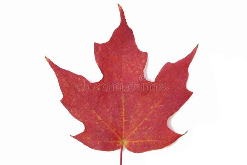 liść klonu czerwień obraz royalty free