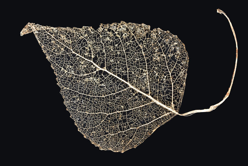 liść kościec zdjęcie royalty free