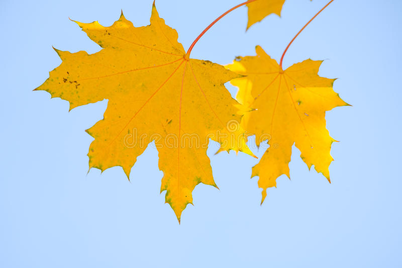 liść kolor żółty zdjęcia stock