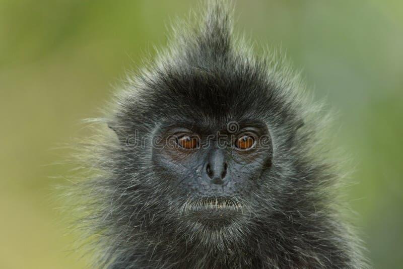 Liść małpa zdjęcia royalty free