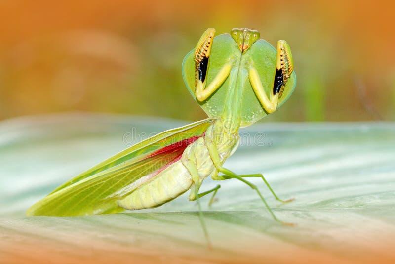Liść Mantid, Choeradodis rhombicollis, insekt od Ekwador Piękny wieczór plecy światło z dzikim zwierzęciem Przyrody scena od nat fotografia stock