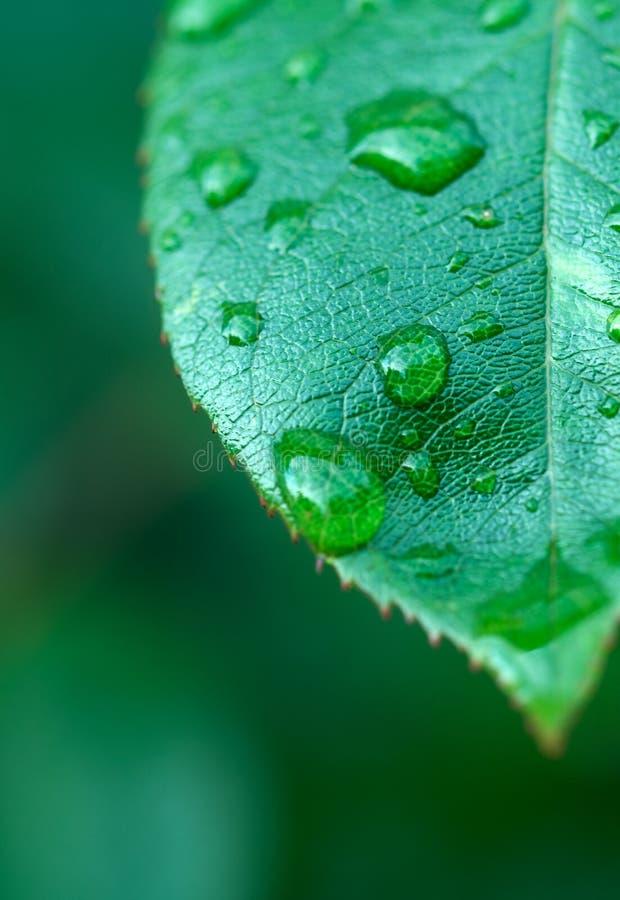 liść mokre obraz stock
