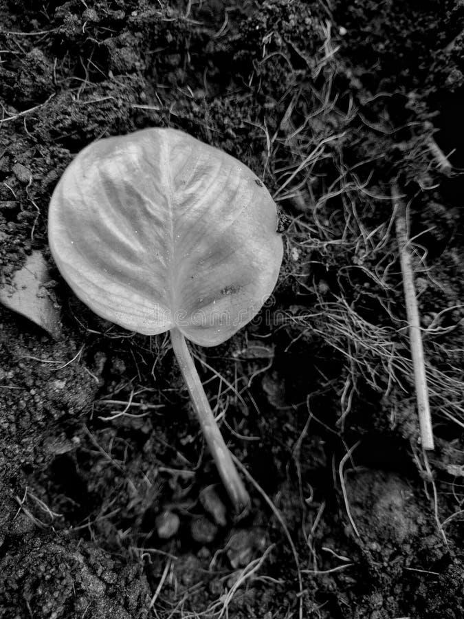 liść na ziemi Obrazek jest monochromatyczny zdjęcie royalty free