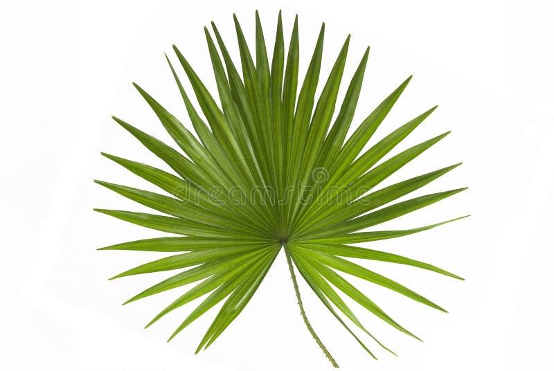 liść palma