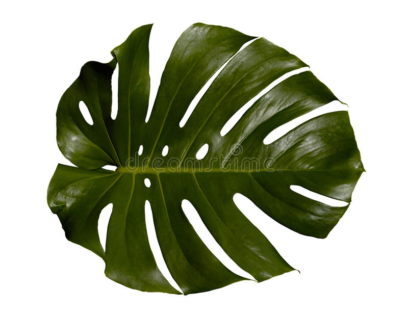 liść palma fotografia stock