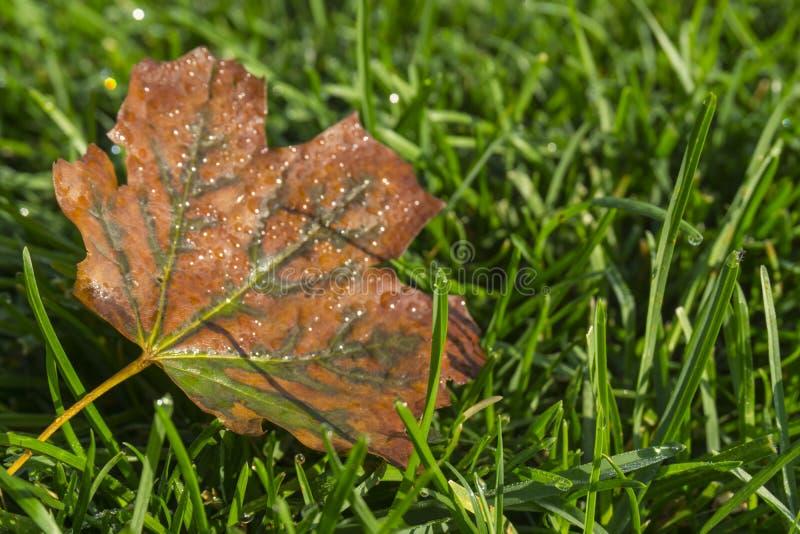 Liść pomarańczowy na trawie zielonej Smużka jesienna Krople rosy na zielonej trawie fotografia stock