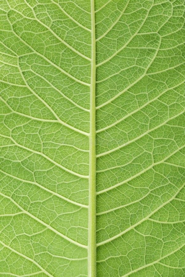Liść puszysta okładkowa tekstura, zasadza omanowego, inula helenium, zdjęcia royalty free