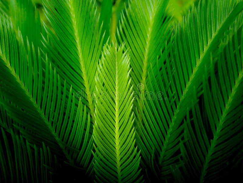 Liść Sago palma fotografia royalty free