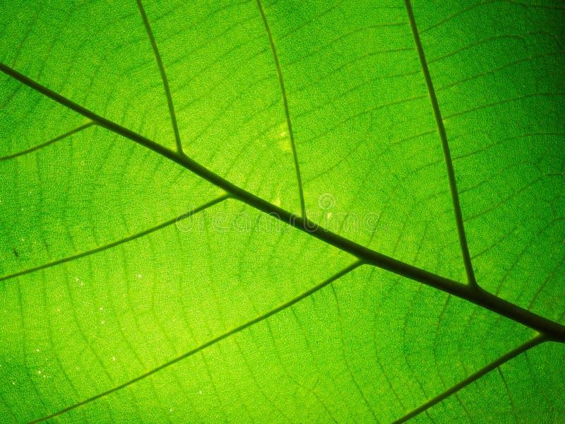 Liść tekstury wzór dla wiosny tła, tekstura zielony leav zdjęcia stock