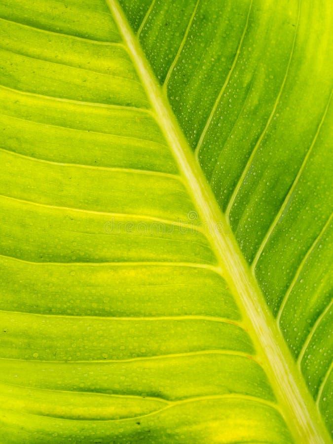 Liść tekstury wzór dla wiosny tła z wody kroplą, envi zdjęcie royalty free