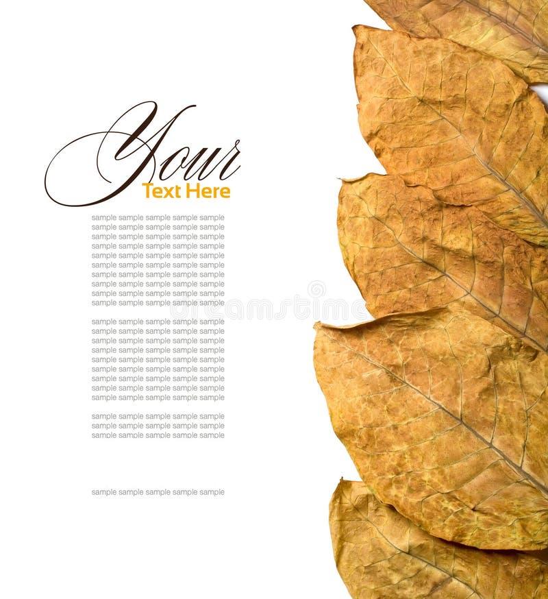 liść tytoń fotografia stock