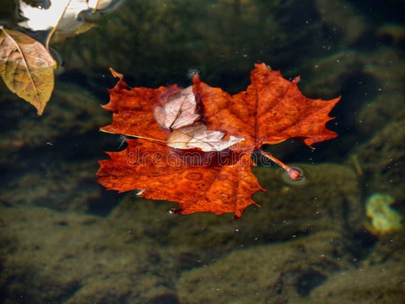 Liść w wodzie obrazy royalty free