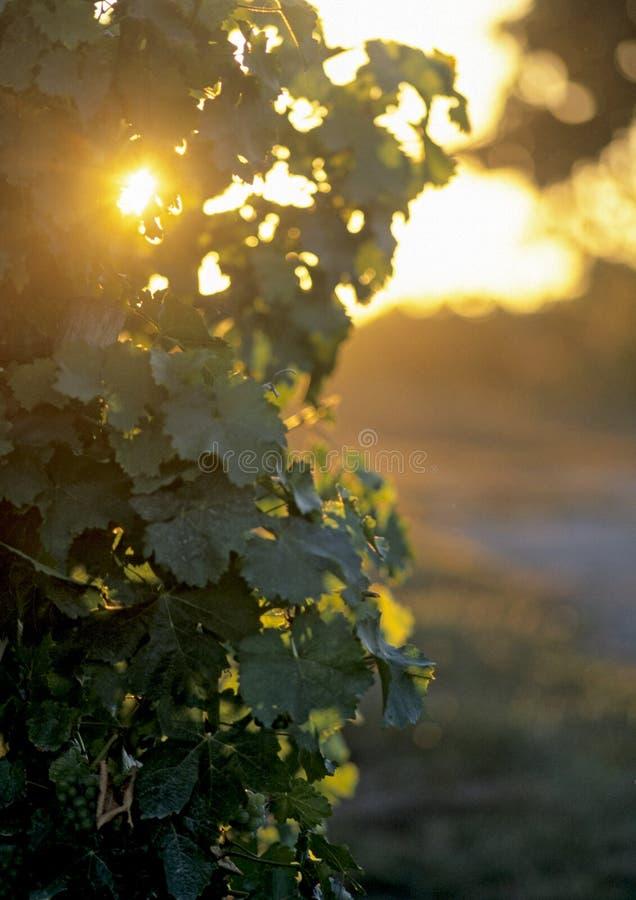 liść wino obraz royalty free
