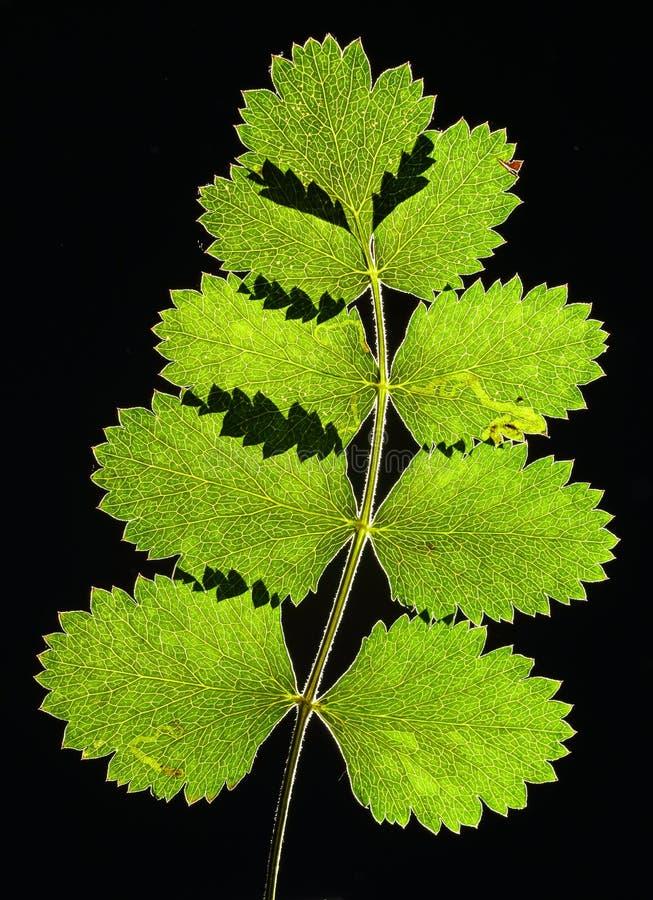 liść wyciskany zdjęcie stock