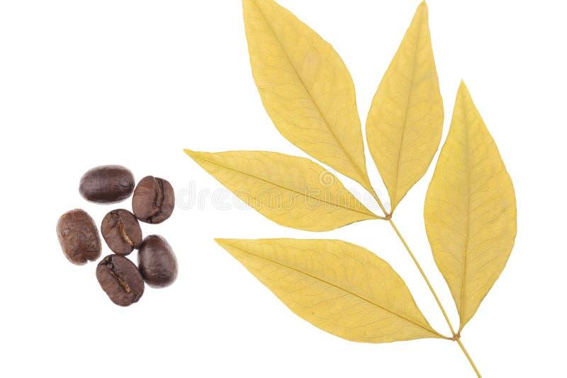 Liść z kawowymi fasolami fotografia royalty free