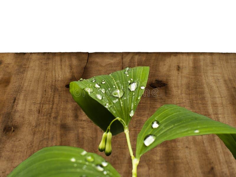 liść z paciorkami z wodą na tle drewniana deska zdjęcia stock