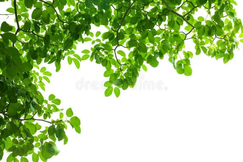 Liść zielona świeża rama obraz royalty free