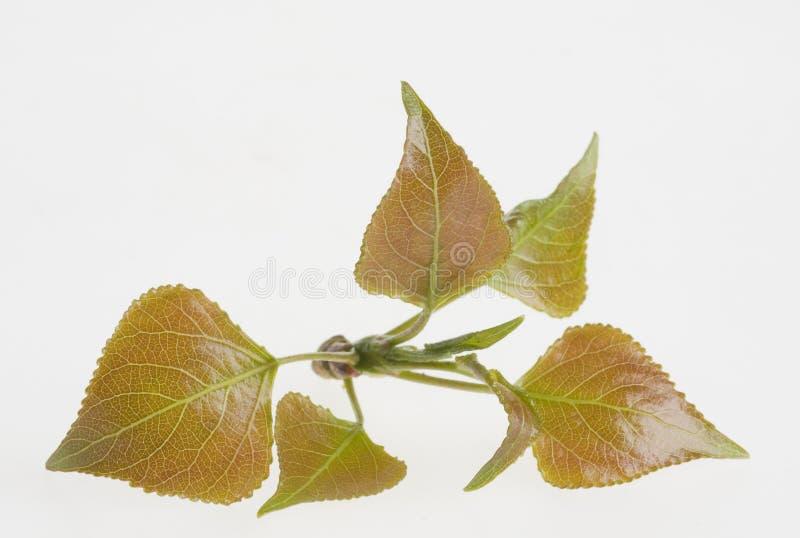 liść zielona natura fotografia royalty free