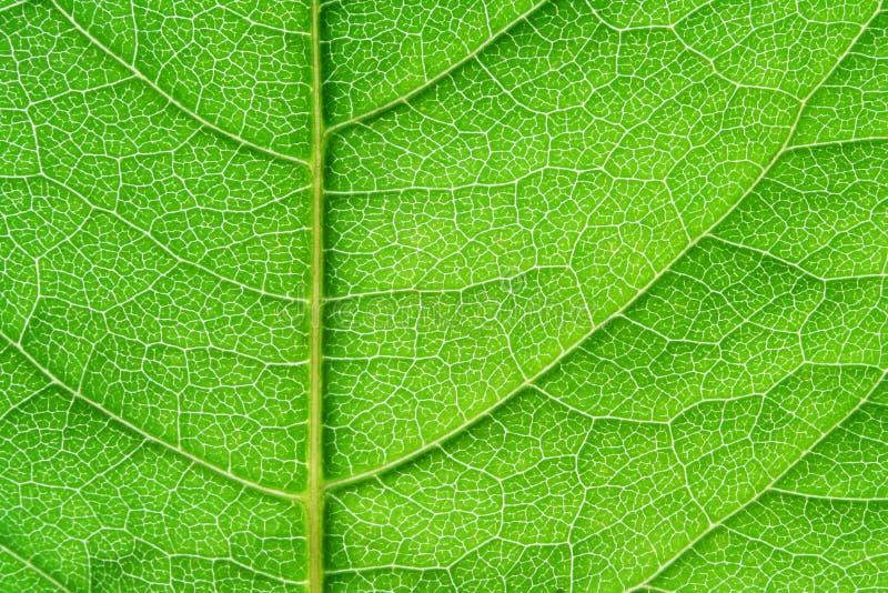 liść zielona struktura obraz stock